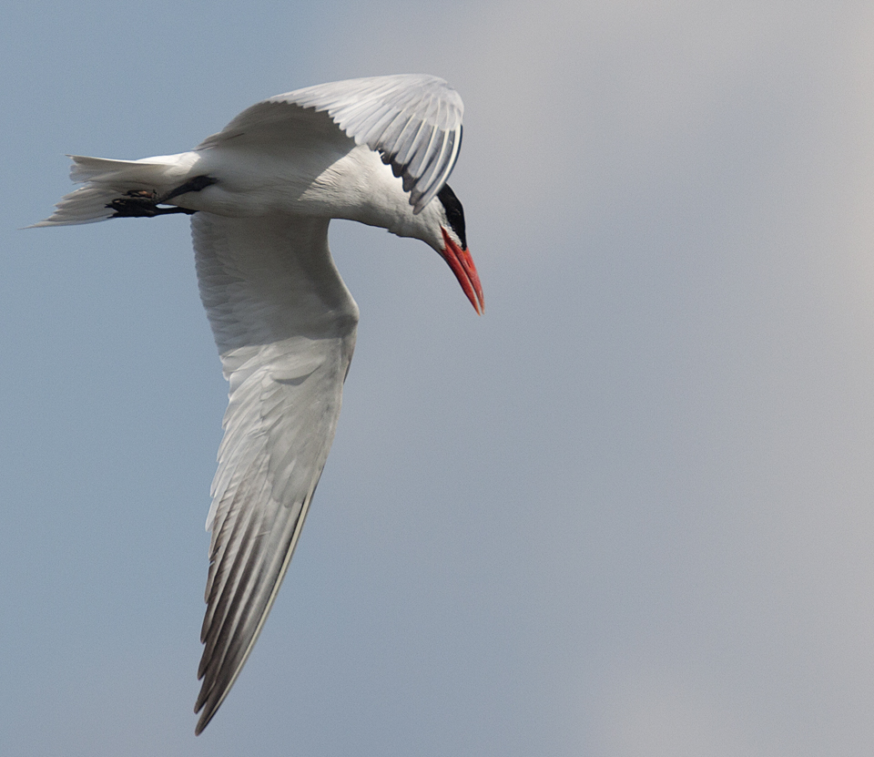 Caspian Tern Black Oak Bayou  LaSalle Fish and Wildlife Area