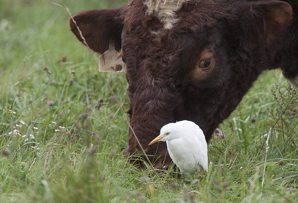 Cattle Egrets Bourbonnais IL Kankakee county October 27, 2016
