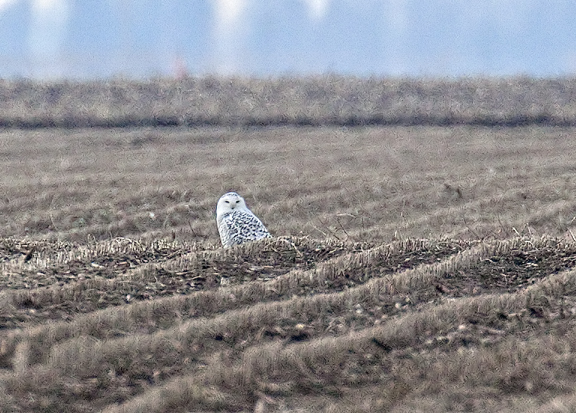 Snowy Owl Iroquois county  Dec 2012