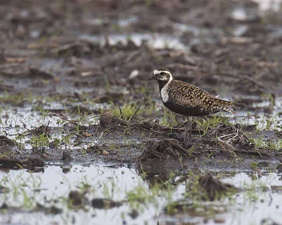 Iroquois county IL American Golden Plover