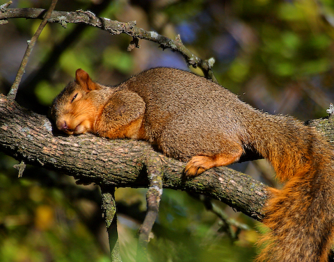 The Sleeping Squirrel