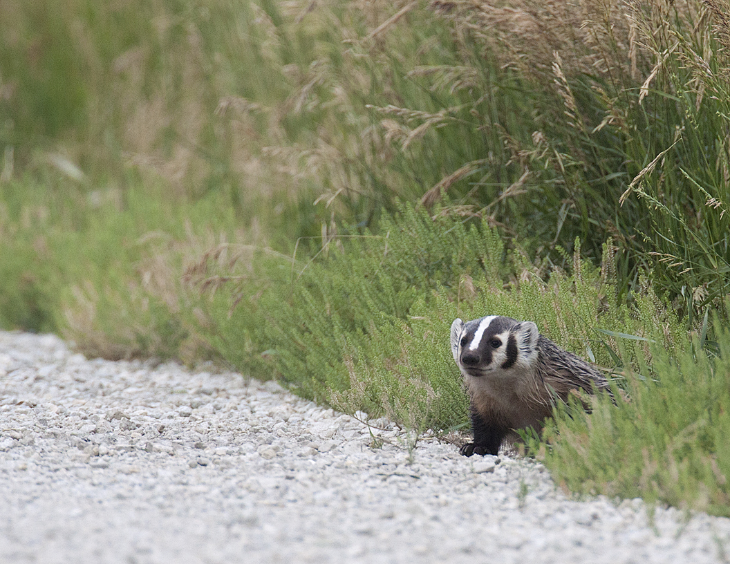 American Badger Illinois