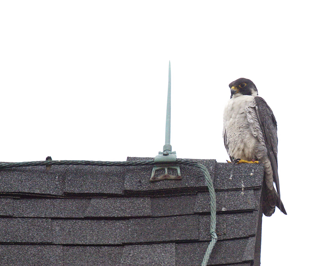 Peregrine falcon named Donovan