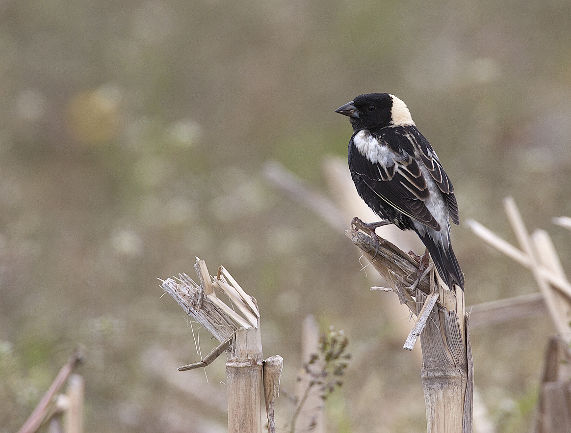 The beautiful Bobolink