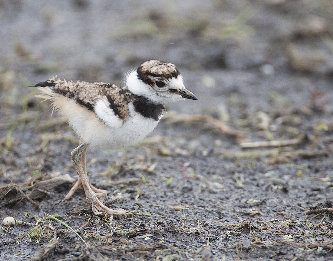 Little baby Killdeer