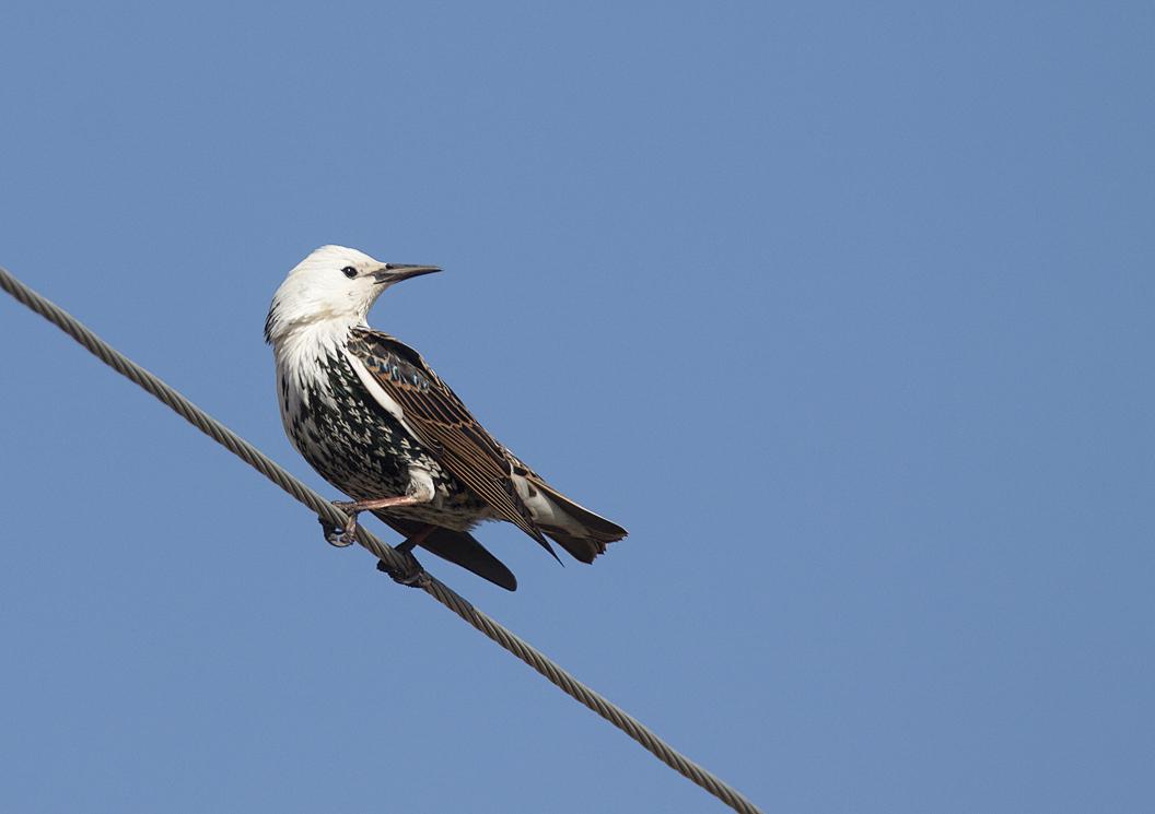 Leucistic Starling