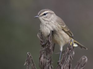 Palm warbler in non-breeding plumage