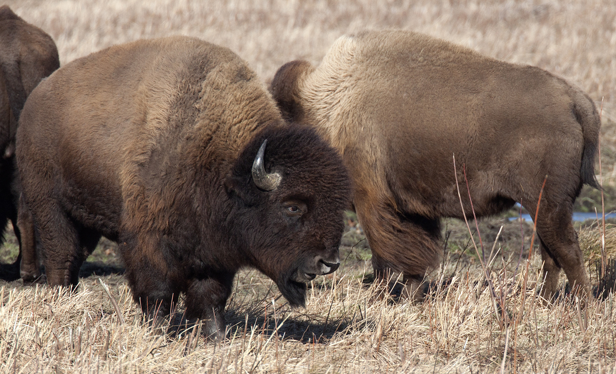 Kankakee Sands Bison