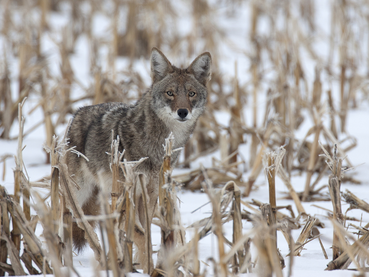 Coyote in corn stubble