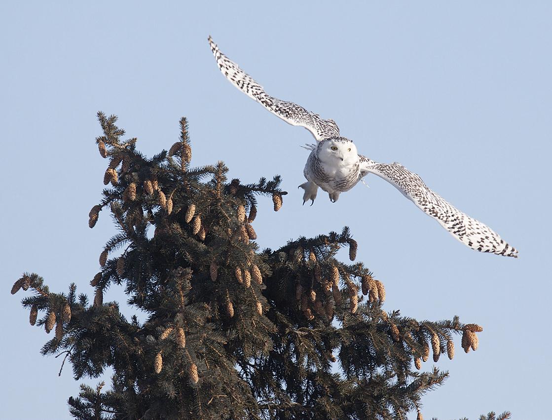 Snowy Owl Illinois