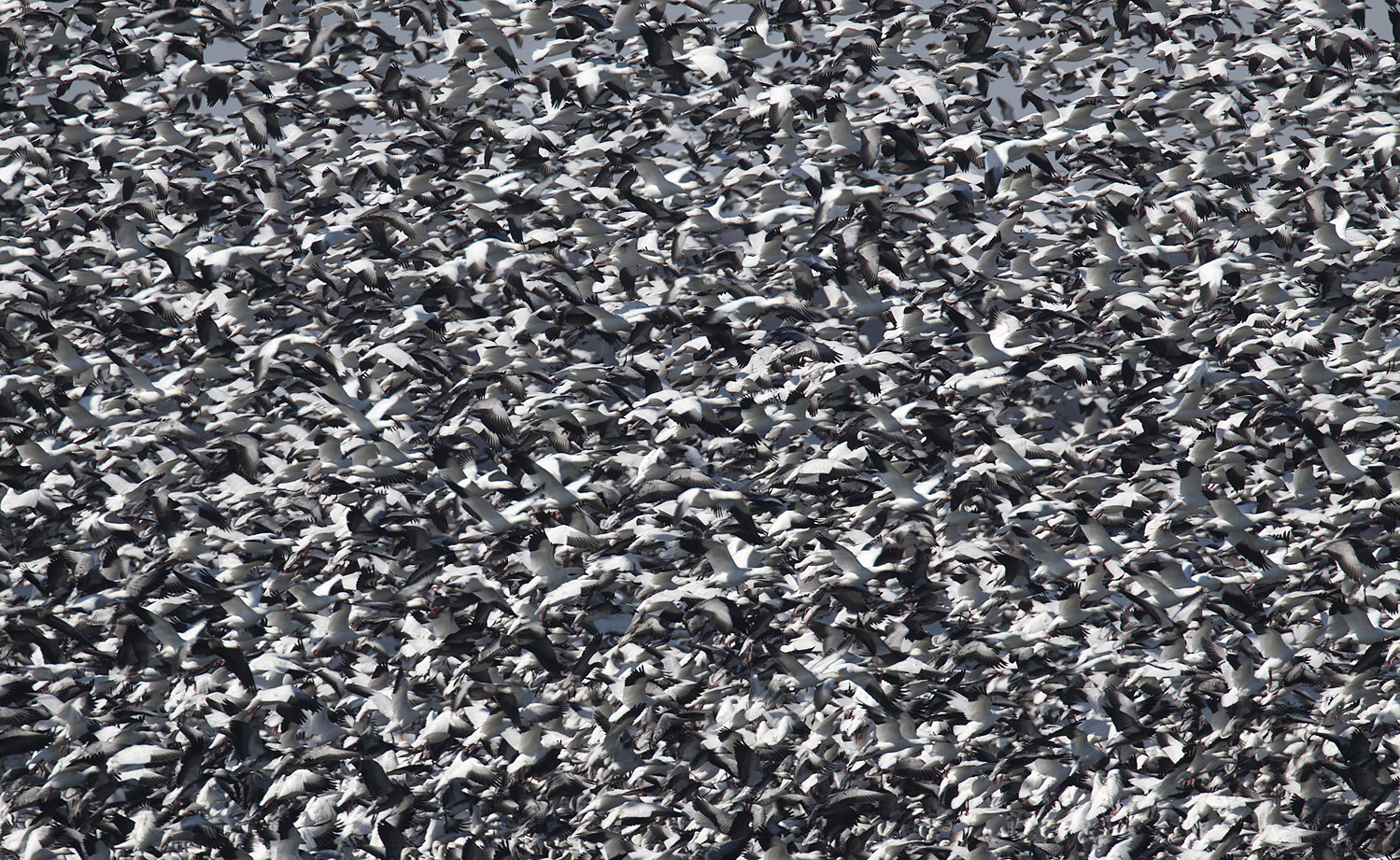 Thousands of Snow Geese in Illinois