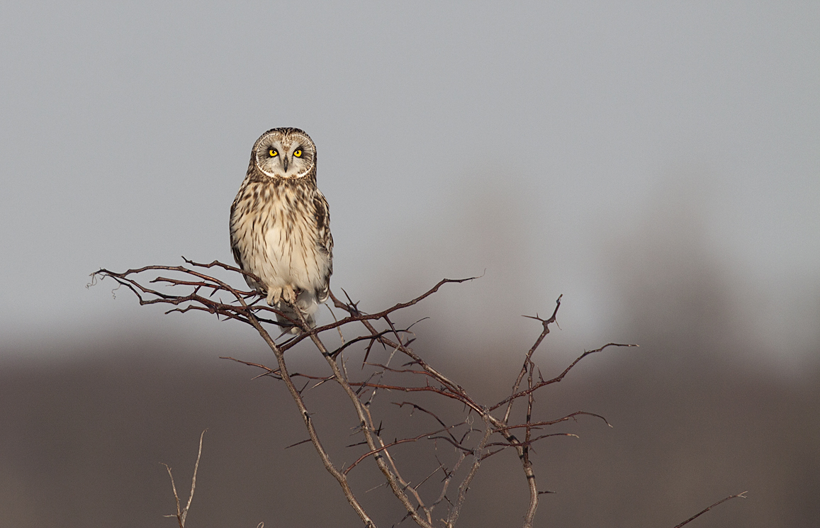 Short-eared Owl Perched Nature Conservancy's Kankakee Sands