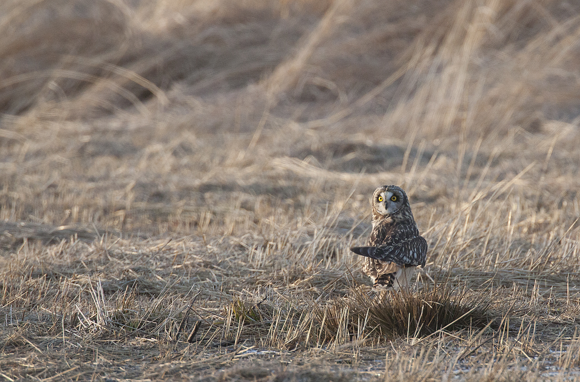 Short-eared Owl at the Kankakee Sands