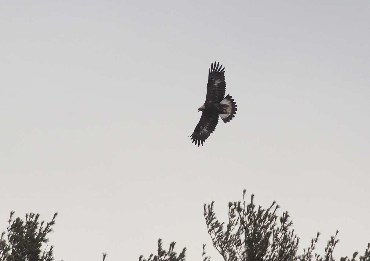 Golden Eagle near Kankakee Sands