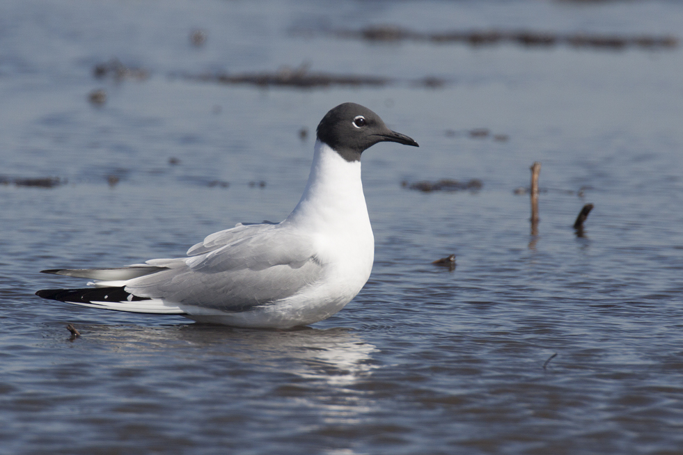 Adult Bonaparte's gull in full breeding plumage