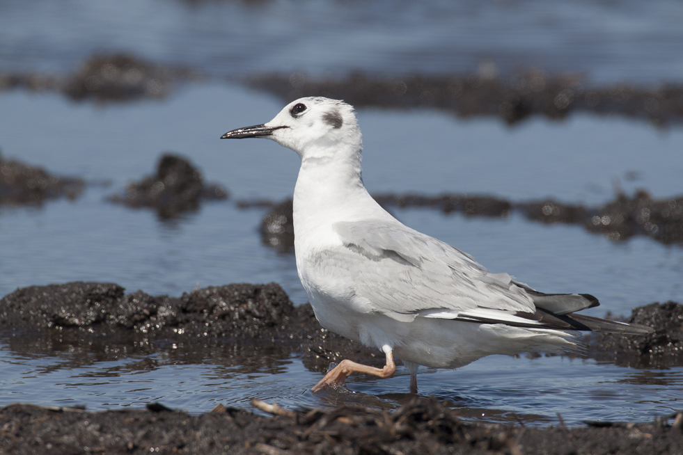 Bonaparte's gull not in breeding plumage
