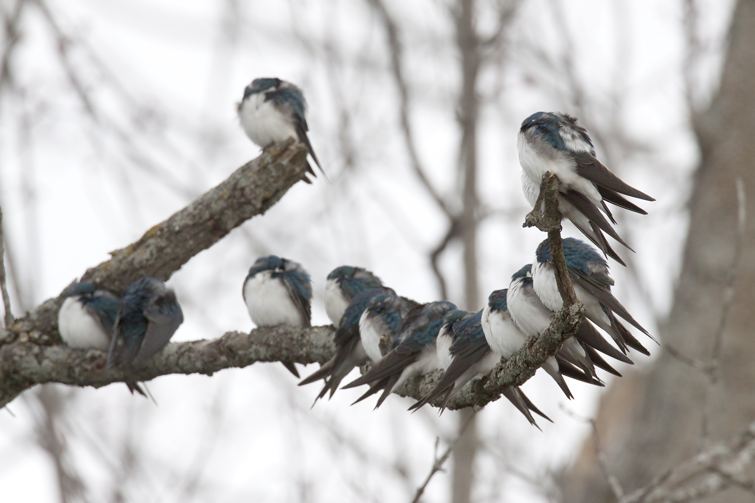 Tired Tree Swallows