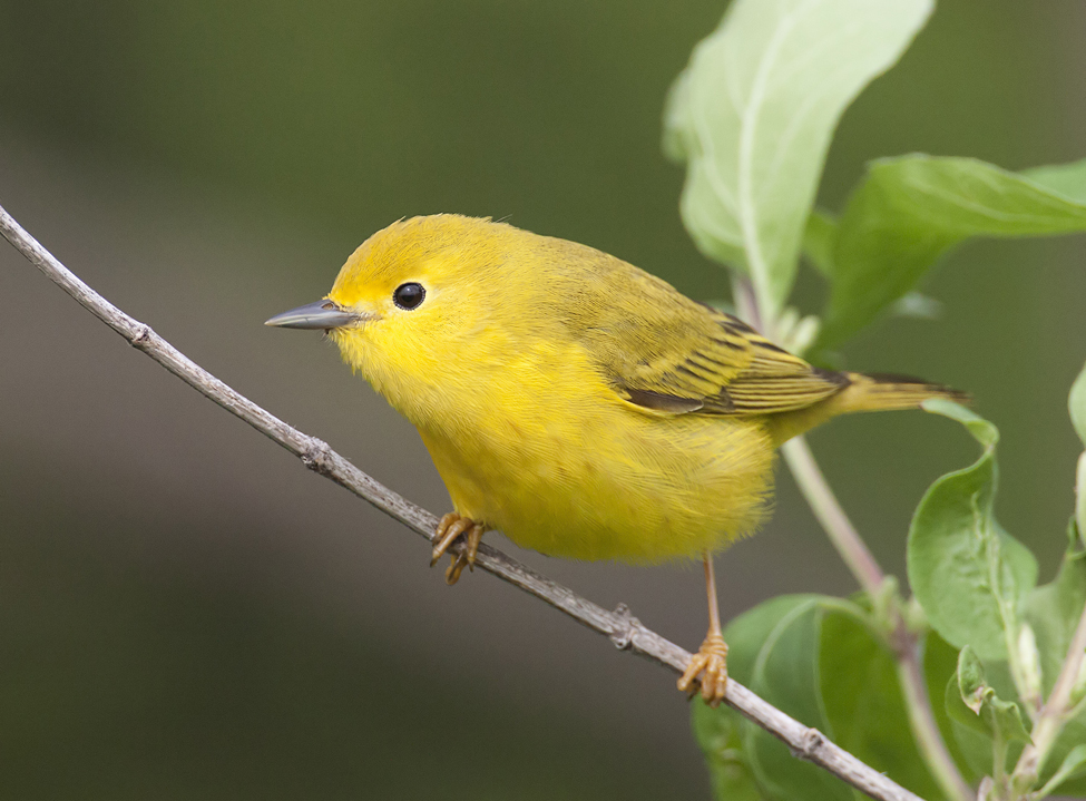 Female Yellow-warbler