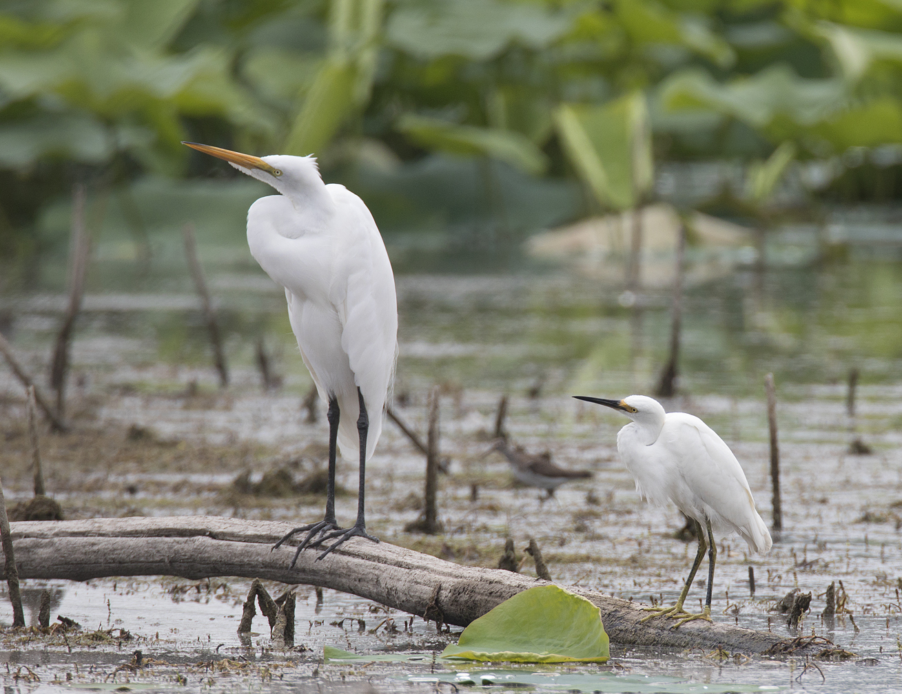 Great Egret and the smaller Snowy Egret
