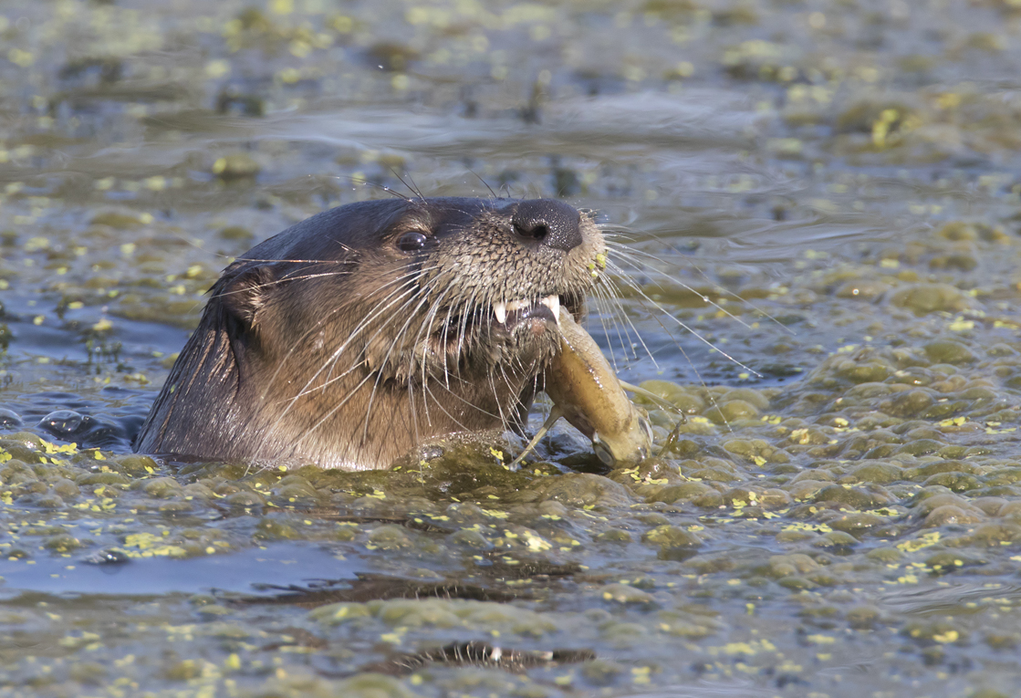 The otter eating a fish it just caught