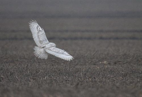 Snowy Owls of Iroquois County